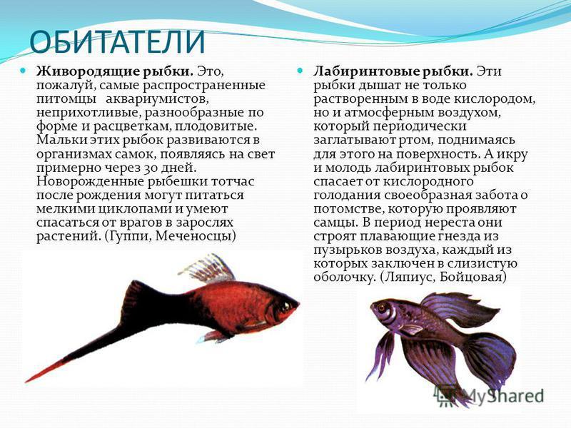 ОБИТАТЕЛИ Живородящие рыбки. Это, пожалуй, самые распространенные питомцы аквариумистов, неприхотливые, разнообразные по форме и расцветкам, плодовитые. Мальки этих рыбок развиваются в организмах самок, появляясь на свет примерно через 30 дней. Новор