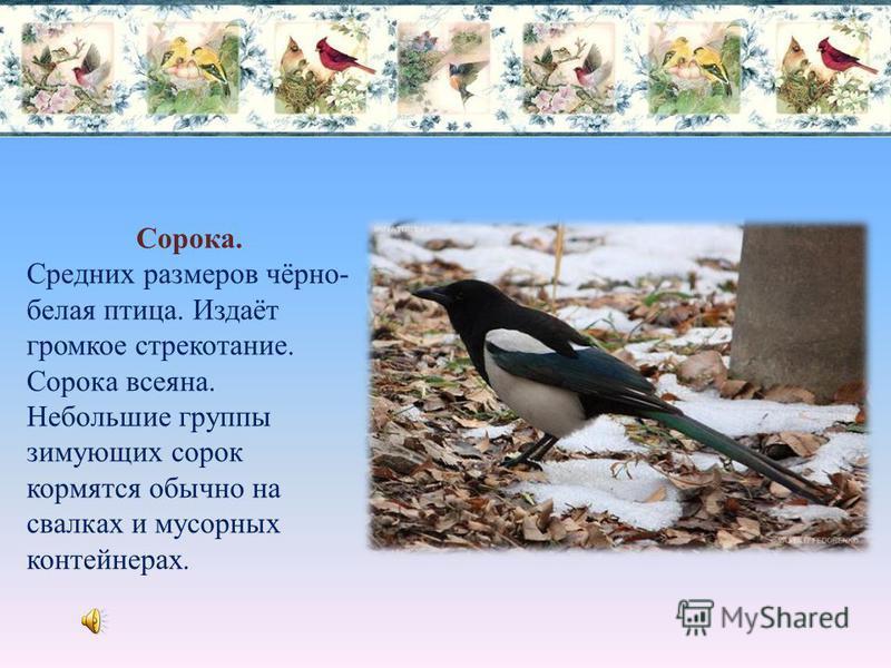 Чёрный ворон. Зимой на окраине города и у мусорных контейнерах можно встретить чёрного ворона, но их большая часть откочёвывает в более тёплые края. Вороны всеядны.