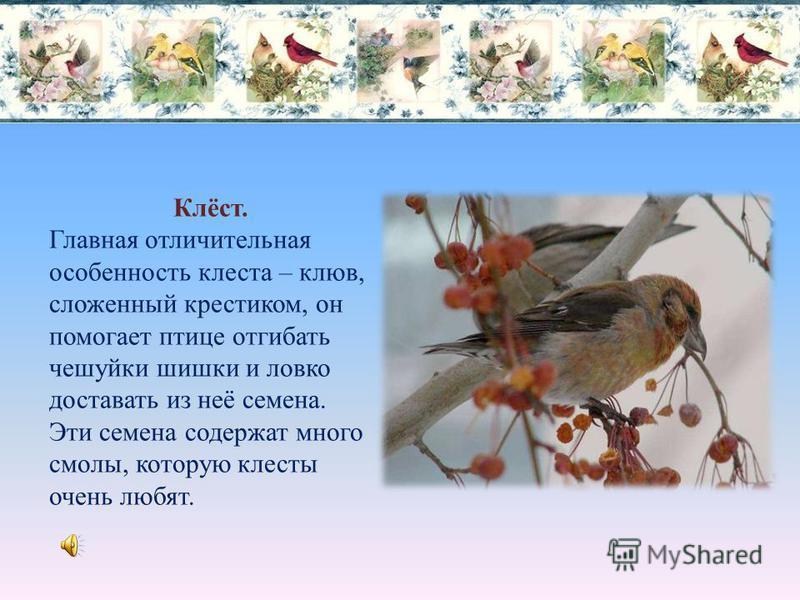 Свиристель. Назвали эту птицу так за её нежную птичью трель «зви-ри-ри-ри- ри», похожую на звучание звирели. Эти птички в нашем городе появляются довольно часто и облепляют городские рябины.