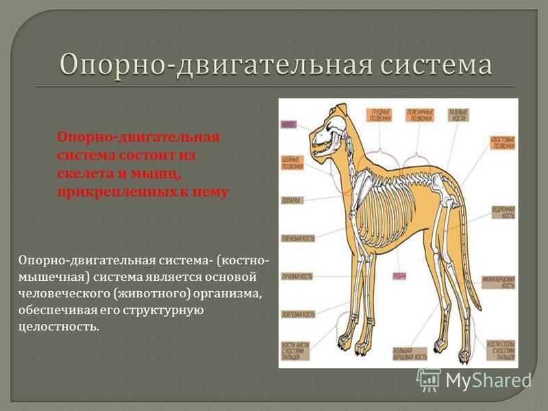 Опорно - двигательная система состоит из скелета и мышц, прикрепленных к нему Опорно - двигательная система - ( костно - мышечная ) система является основой человеческого ( животного ) организма, обеспечивая его структурную целостность.