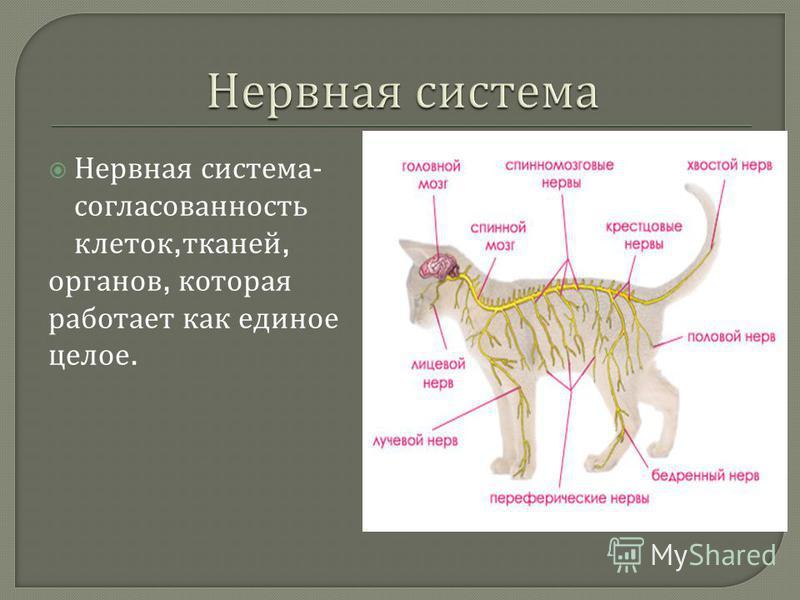 Нервная система - согласованность клеток, тканей, органов, которая работает как единое целое.