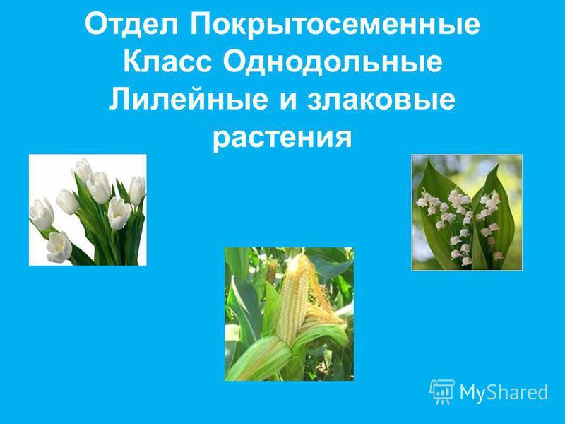 Отдел Покрытосеменные Класс Однодольные Лилейные и злаковые растения