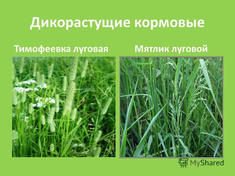 Дикорастущие кормовые Тимофеевка луговаяМятлик луговой
