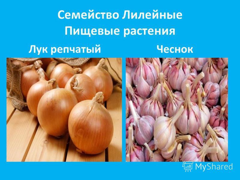 Семейство Лилейные Пищевые растения Лук репчатыйЧеснок