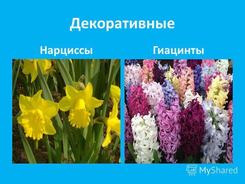 Декоративные НарциссыГиацинты