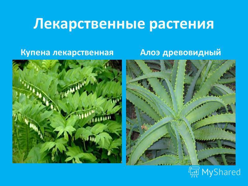 Лекарственные растения Купена лекарственнаяАлоэ древовидный