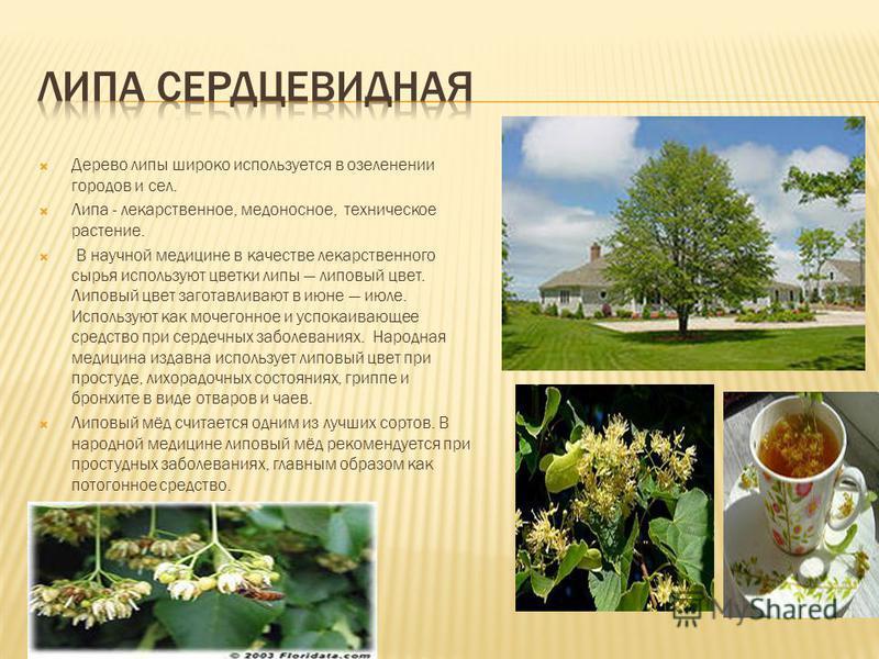 Дерево липы широко используется в озеленении городов и сел. Липа - лекарственное, медоносное, техническое растение. В научной медицине в качестве лекарственного сырья используют цветки липы липовый цвет. Липовый цвет заготавливают в июне июле. Исполь