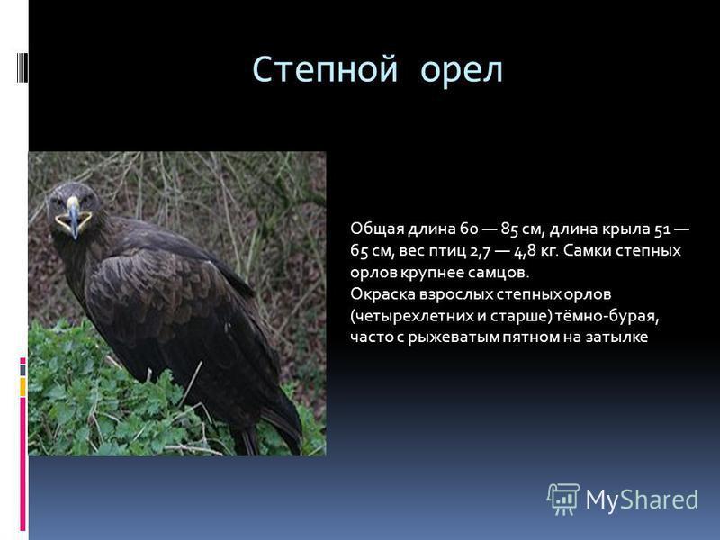 Степной орел Общая длина 60 85 см, длина крыла 51 65 см, вес птиц 2,7 4,8 кг. Самки степных орлов крупнее самцов. Окраска взрослых степных орлов (четырехлетних и старше) тёмно-бурая, часто с рыжеватым пятном на затылке