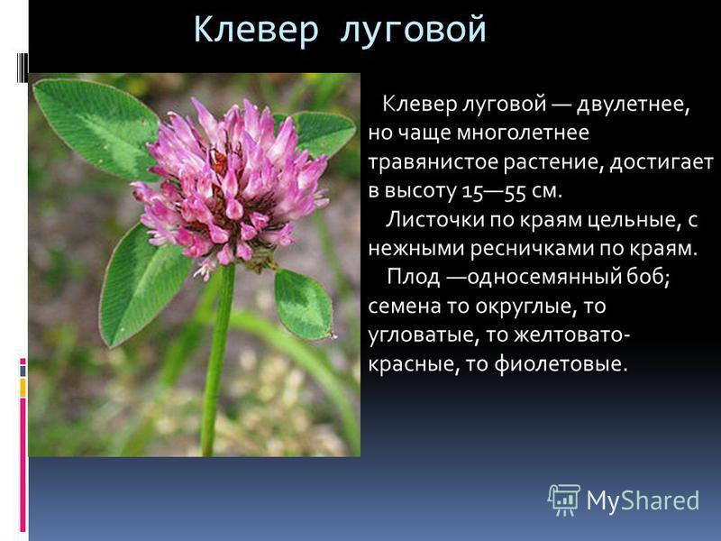 Клевер луговой Клевер луговой двулетнее, но чаще многолетнее травянистое растение, достигает в высоту 1555 см. Листочки по краям цельные, с нежными ресничками по краям. Плод односемянный боб; семена то округлые, то угловатые, то желтовато- красные, т