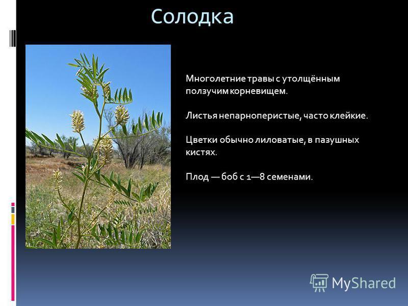 Солодка Многолетние травы с утолщённым ползучим корневищем. Листья непарноперистые, часто клейкие. Цветки обычно лиловатые, в пазушных кистях. Плод боб с 18 семенами.