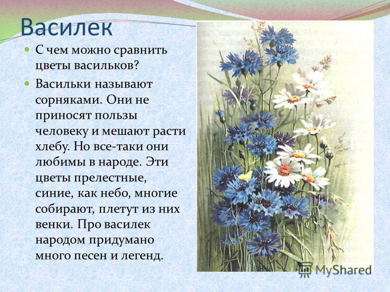 Василек С чем можно сравнить цветы васильков? Васильки называют сорняками. Они не приносят пользы человеку и мешают расти хлебу. Но все-таки они любимы в народе. Эти цветы прелестные, синие, как небо, многие собирают, плетут из них венки. Про василек