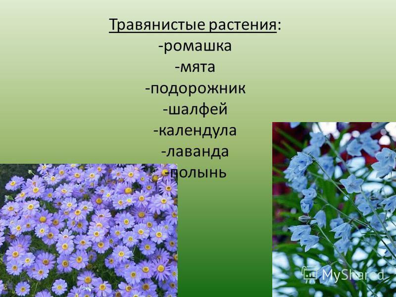 Травянистые растения: -ромашка -мята -подорожник -шалфей -календула -лаванда -полынь