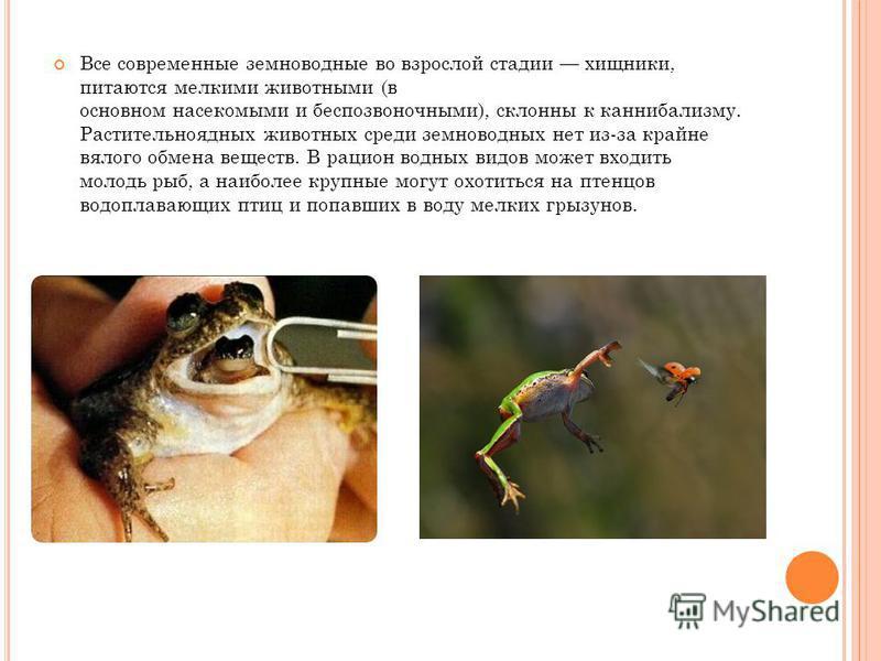 Все современные земноводные во взрослой стадии хищники, питаются мелкими животными (в основном насекомыми и беспозвоночными), склонны к каннибализму. Растительноядных животных среди земноводных нет из-за крайне вялого обмена веществ. В рацион водных