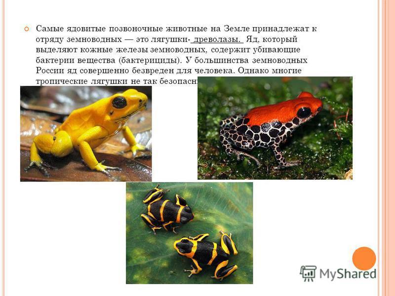 Самые ядовитые позвоночные животные на Земле принадлежат к отряду земноводных это лягушки- древолазы. Яд, который выделяют кожные железы земноводных, содержит убивающие бактерии вещества (бактерициды). У большинства земноводных России яд совершенно б