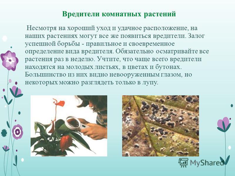 Вредители комнатных растений Несмотря на хороший уход и удачное расположение, на наших растениях могут все же появиться вредители. Залог успешной борьбы - правильное и своевременное определение вида вредителя. Обязательно осматривайте все растения ра