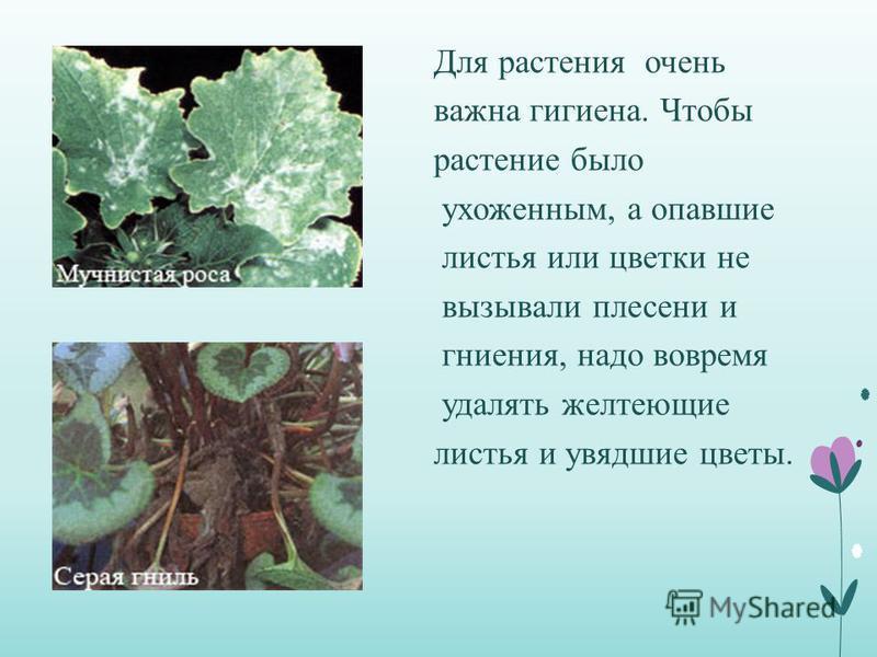 Для растения очень важна гигиена. Чтобы растение было ухоженным, а опавшие листья или цветки не вызывали плесени и гниения, надо вовремя удалять желтеющие листья и увядшие цветы.