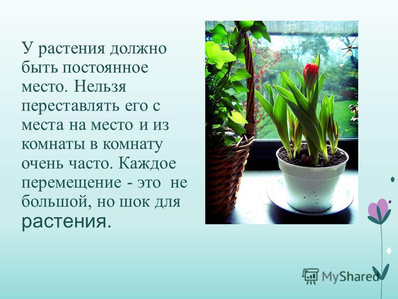 У растения должно быть постоянное место. Нельзя переставлять его с места на место и из комнаты в комнату очень часто. Каждое перемещение - это не большой, но шок для растения.