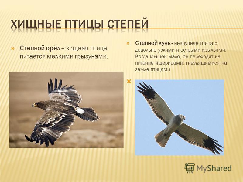 Степной орёл – хищная птица, питается мелкими грызунами. Степной лунь - некрупная птица с довольно узкими и острыми крыльями. Когда мышей мало, он переходит на питание ящерицами, гнездящимися на земле птицами