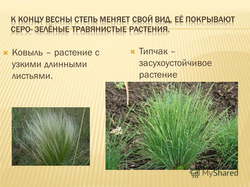 Ковыль – растение с узкими длинными листьями. Типчак – засухоустойчивое растение