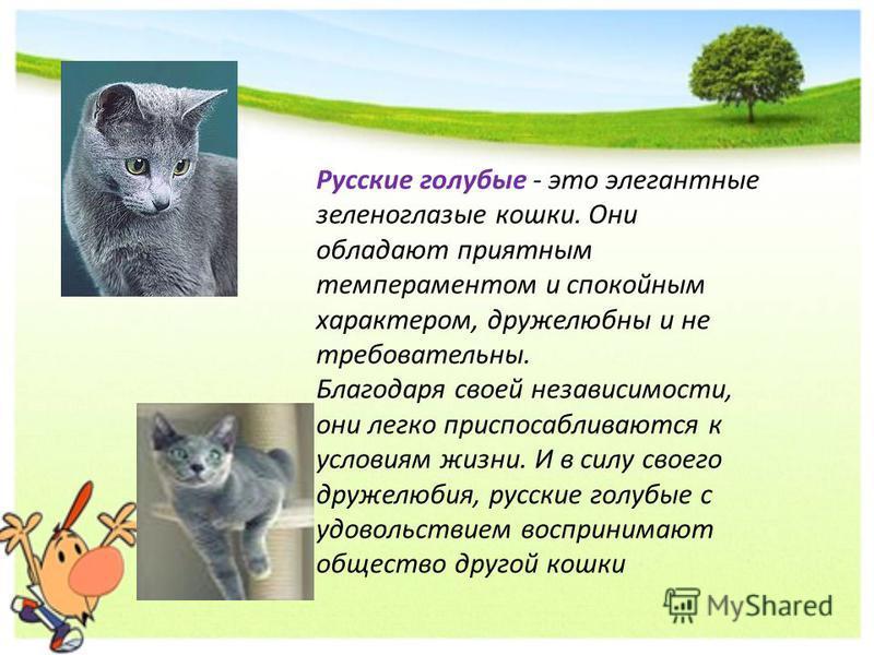 Русские голубые - это элегантные зеленоглазые кошки. Они обладают приятным темпераментом и спокойным характером, дружелюбны и не требовательны. Благодаря своей независимости, они легко приспосабливаются к условиям жизни. И в силу своего дружелюбия, р