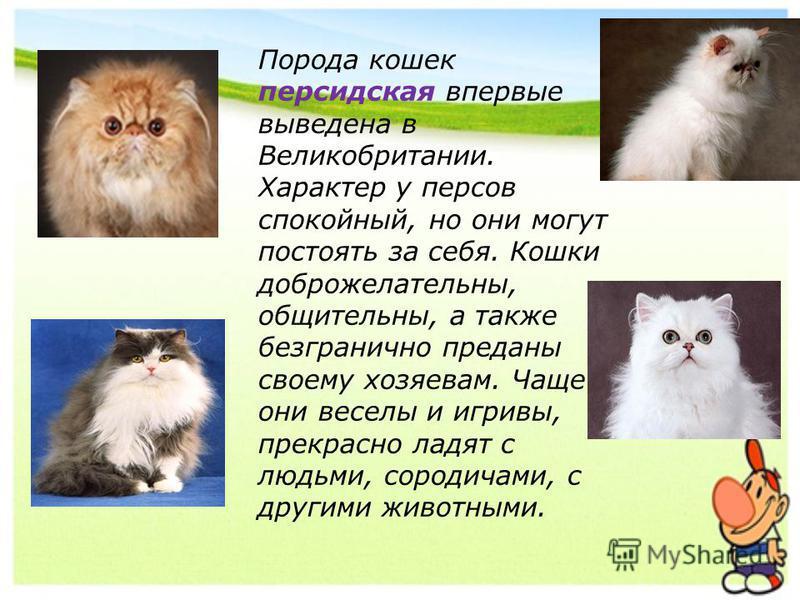 Порода кошек персидская впервые выведена в Великобритании. Характер у персов спокойный, но они могут постоять за себя. Кошки доброжелательны, общительны, а также безгранично преданы своему хозяевам. Чаще они веселы и игривы, прекрасно ладят с людьми,