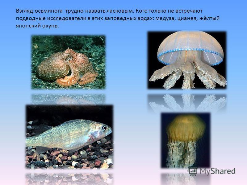 Взгляд осьминога трудно назвать ласковым. Кого только не встречают подводные исследователи в этих заповедных водах: медуза, цианея, жёлтый японский окунь.