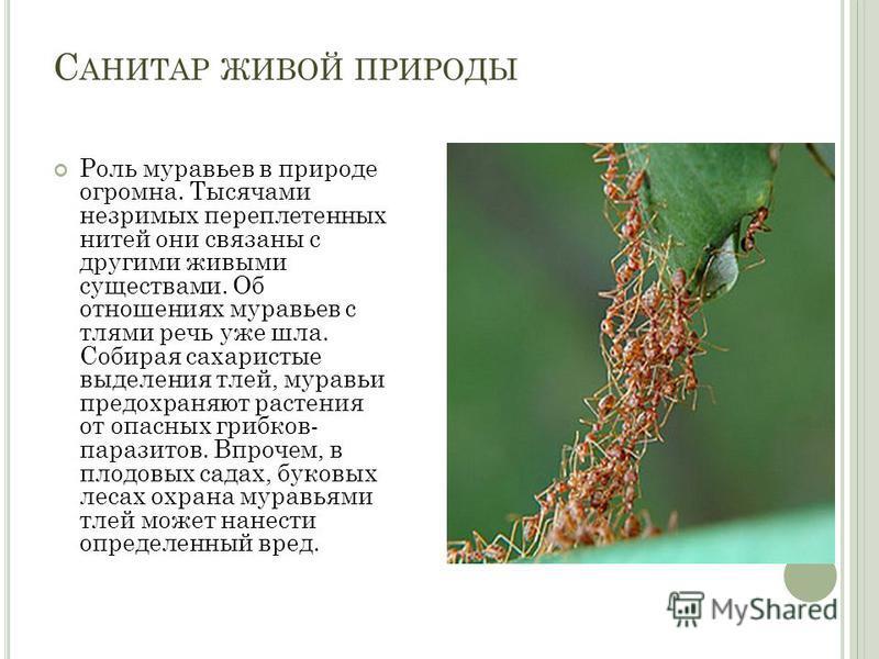 С АНИТАР ЖИВОЙ ПРИРОДЫ Роль муравьев в природе огромна. Тысячами незримых переплетенных нитей они связаны с другими живыми существами. Об отношениях муравьев с тлями речь уже шла. Собирая сахаристые выделения тлей, муравьи предохраняют растения от оп