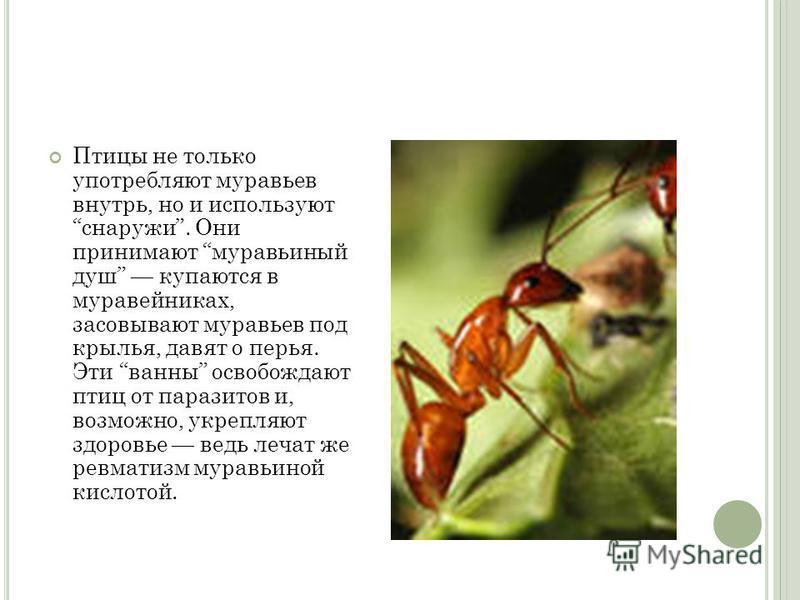 Птицы не только употребляют муравьев внутрь, но и используют снаружи. Они принимают муравьиный душ купаются в муравейниках, засовывают муравьев под крылья, давят о перья. Эти ванны освобождают птиц от паразитов и, возможно, укрепляют здоровье ведь ле