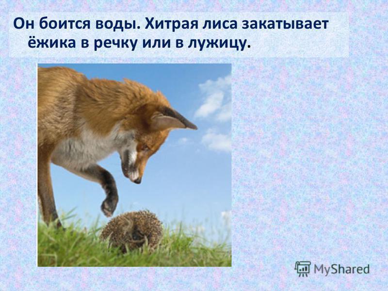 Он боится воды. Хитрая лиса закатывает ёжика в речку или в лужицу.