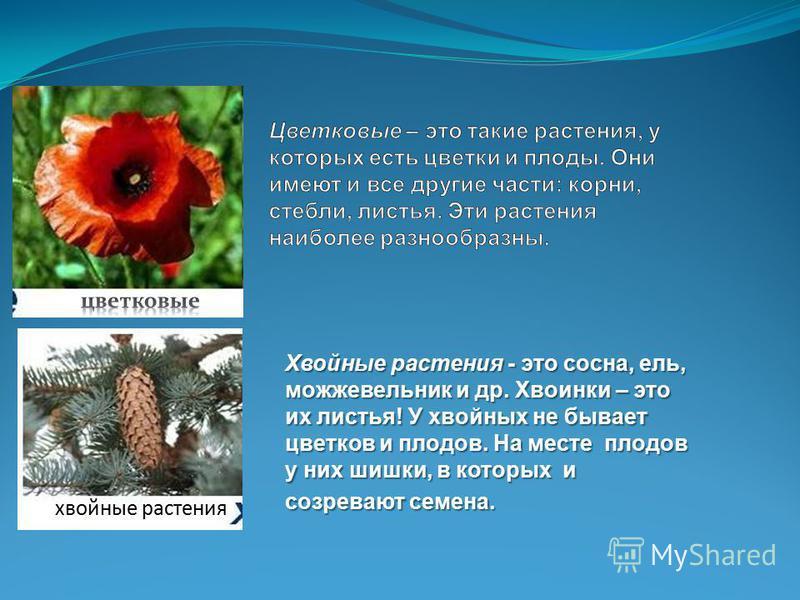 Хвойные растения - это сосна, ель, можжевельник и др. Хвоинки – это их листья! У хвойных не бывает цветков и плодов. На месте плодов у них шишки, в которых и созревают семена. хвойные растения