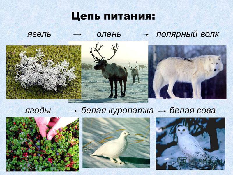 ягель олень полярный волк ягоды белая куропатка белая сова Цепь питания: