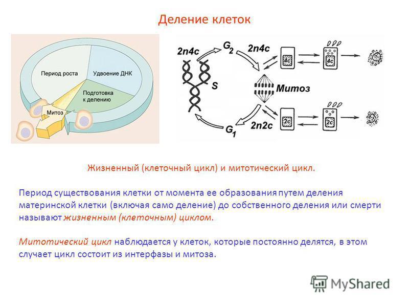 Деление клеток Жизненный (клеточный цикл) и митотический цикл. Период существования клетки от момента ее образования путем деления материнской клетки (включая само деление) до собственного деления или смерти называют жизненным (клеточным) циклом. Мит