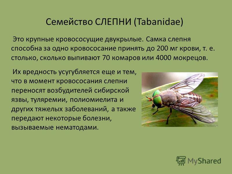 Это крупные кровососущие двукрылые. Самка слепня способна за одно кровососание принять до 200 мг крови, т. е. столько, сколько выпивают 70 комаров или 4000 мокрецов. Их вредность усугубляется еще и тем, что в момент кровососания слепни переносят возб