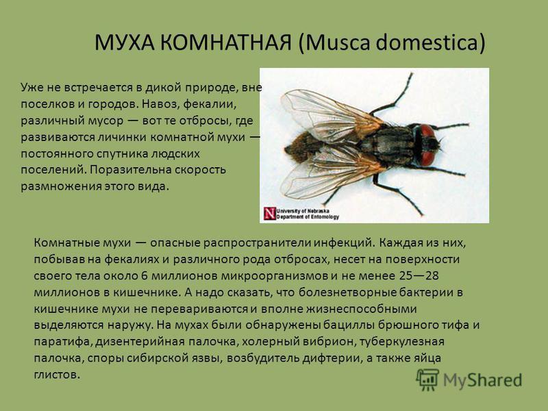 Комнатные мухи опасные распространители инфекций. Каждая из них, побывав на фекалиях и различного рода отбросах, несет на поверхности своего тела около 6 миллионов микроорганизмов и не менее 2528 миллионов в кишечнике. А надо сказать, что болезнетвор