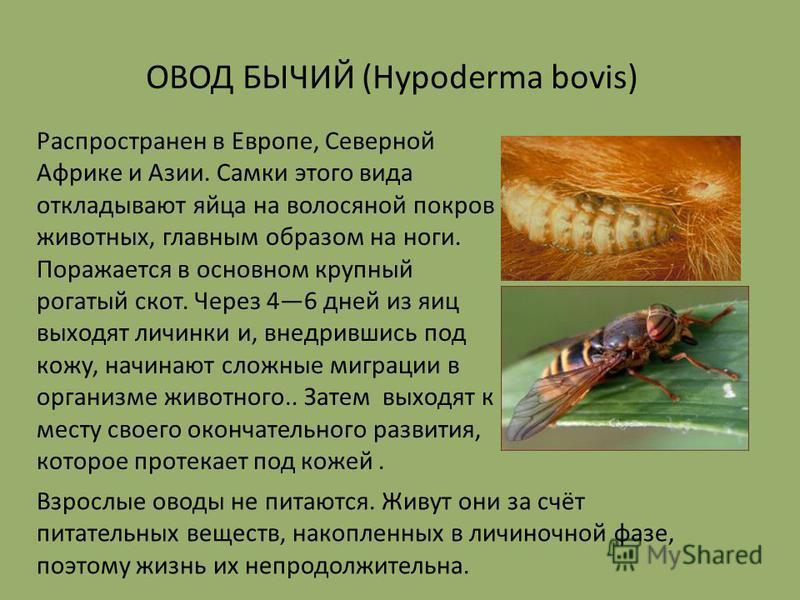 Распространен в Европе, Северной Африке и Азии. Самки этого вида откладывают яйца на волосяной покров животных, главным образом на ноги. Поражается в основном крупный рогатый скот. Через 46 дней из яиц выходят личинки и, внедрившись под кожу, начинаю