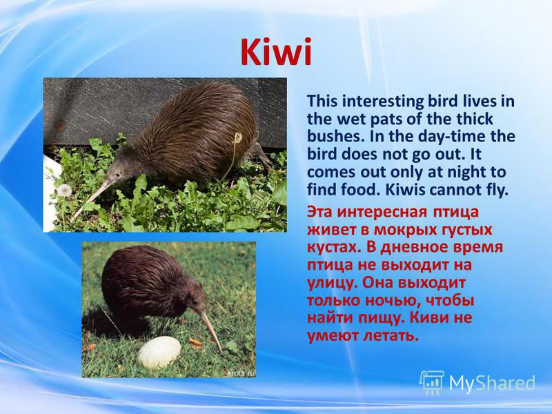 Kiwi This interesting bird lives in the wet pats of the thick bushes. In the day-time the bird does not go out. It comes out only at night to find food. Kiwis cannot fly. Эта интересная птица живет в мокрых густых кустах. В дневное время птица не вых