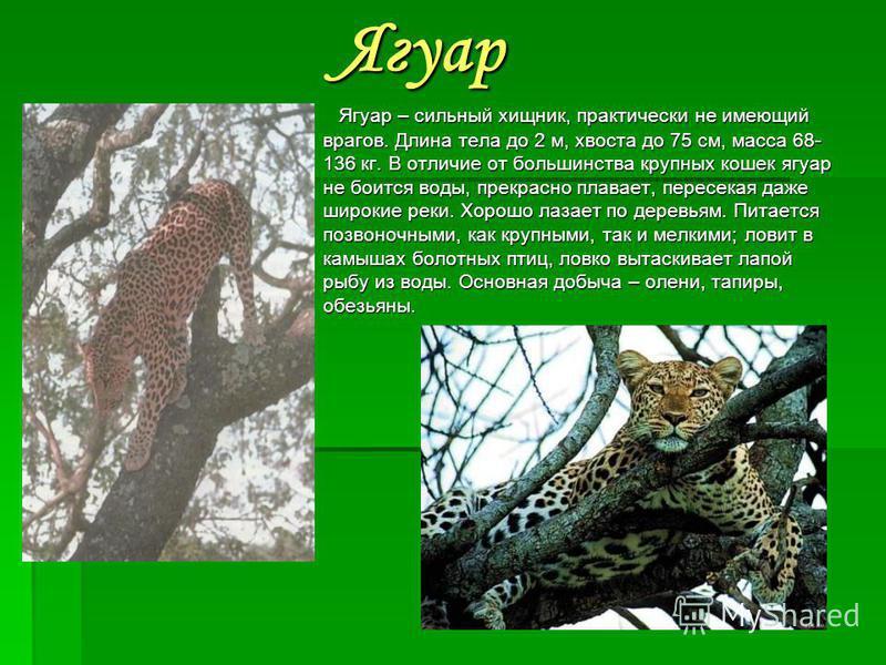Ленивец Их среда обитания – тропические леса. Здесь ленивцы висят на ветвях деревьях высоко от земли; внизу их почти никогда не встретишь да и на дереве не сразу заметишь: животные почти сливаются со своим окружением – листвой деревьев. Их единственн