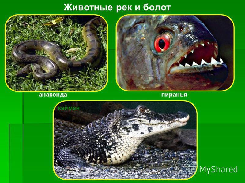 Носуха Носуха получила своё русское название за очень длинную морду с постоянно находящимся в движении длинным концом носа. Длина тела 43-66 см, хвоста 42-68 см, масса 4,5-6 кг. Питается в основном мелкими животными, а также лягушками, ящерицами, мел
