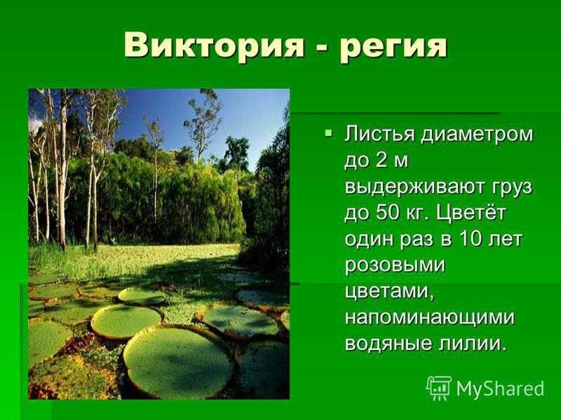 Сейба Сейба (хлопковое дерево) (хлопковое дерево) Дерево высотой 60-70 м, имеет очень широкий ствол с подпорками. Ствол и крупные ветви покрыты очень большими, колючими шипами. Внутри стенки плодов покрыты пушистыми желтоватыми волосками, напоминающи