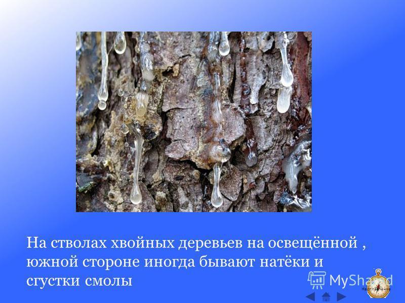 На стволах хвойных деревьев на освещённой, южной стороне иногда бывают натёки и сгустки смолы На оглавление
