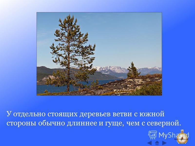 У отдельно стоящих деревьев ветви с южной стороны обычно длиннее и гуще, чем с северной. На оглавление