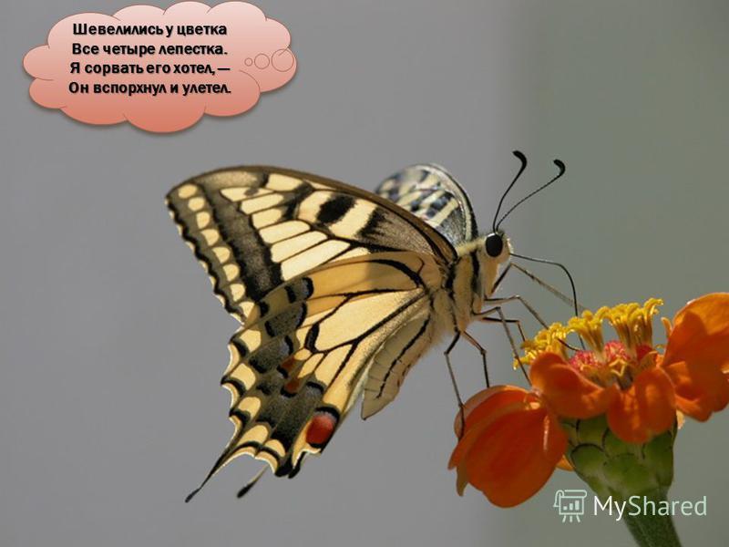 БАБОЧКА ноги ГРУДЬ хоботок ГОЛОВА усики БРЮШКО крылья глаза