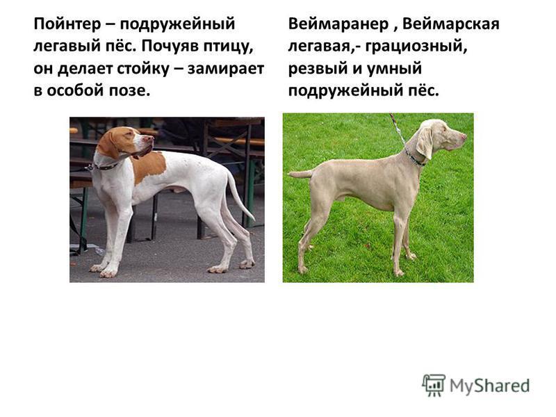Пойнтер – подружейный легавый пёс. Почуяв птицу, он делает стойку – замирает в особой позе. Веймаранер, Веймарская легавая,- грациозный, резвый и умный подружейный пёс.