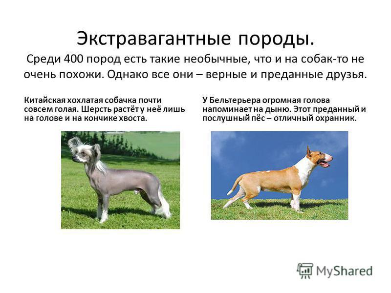 Экстравагантные породы. Среди 400 пород есть такие необычные, что и на собак-то не очень похожи. Однако все они – верные и преданные друзья. Китайская хохлатая собачка почти совсем голая. Шерсть растёт у неё лишь на голове и на кончике хвоста. У Бель