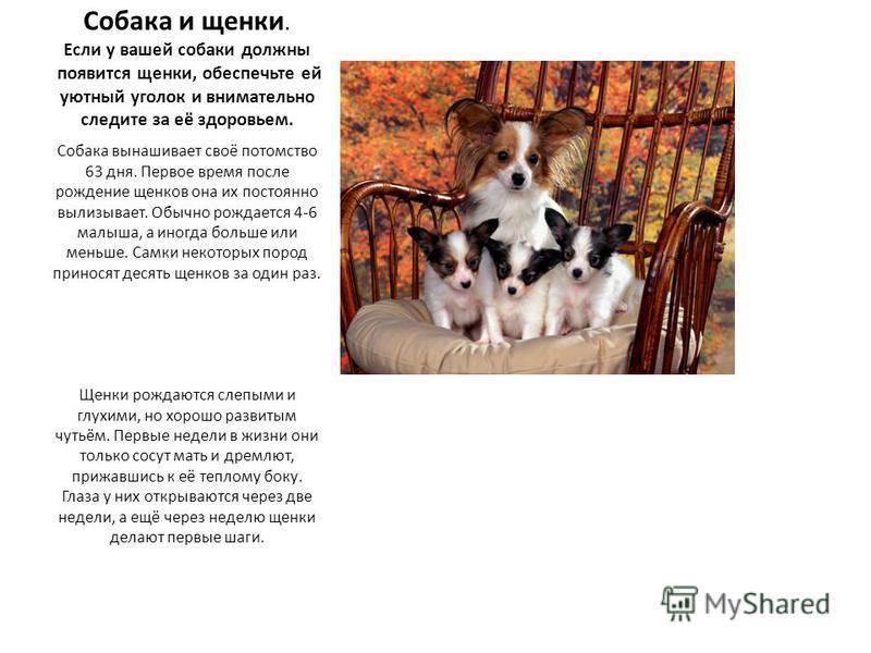 Собака и щенки. Если у вашей собаки должны появится щенки, обеспечьте ей уютный уголок и внимательно следите за её здоровьем. Собака вынашивает своё потомство 63 дня. Первое время после рождение щенков она их постоянно вылизывает. Обычно рождается 4-