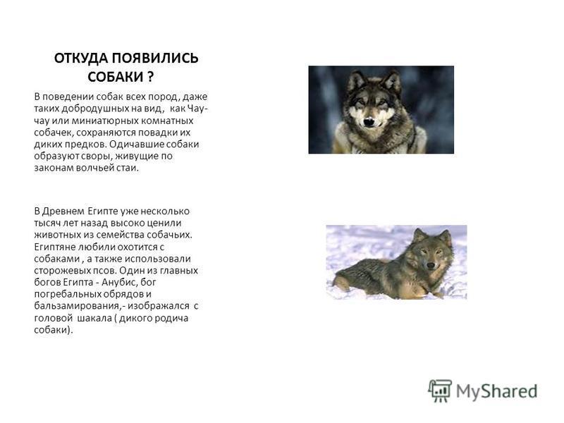 ОТКУДА ПОЯВИЛИСЬ СОБАКИ ? В поведении собак всех пород, даже таких добродушных на вид, как Чау- чау или миниатюрных комнатных собачек, сохраняются повадки их диких предков. Одичавшие собаки образуют своры, живущие по законам волчьей стаи. В Древнем Е