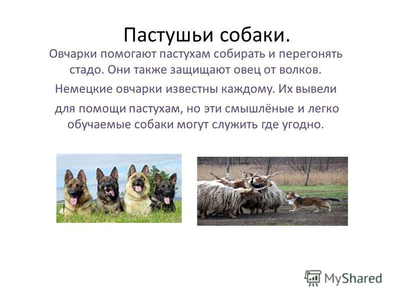 Пастушьи собаки. Овчарки помогают пастухам собирать и перегонять стадо. Они также защищают овец от волков. Немецкие овчарки известны каждому. Их вывели для помощи пастухам, но эти смышлёные и легко обучаемые собаки могут служить где угодно.
