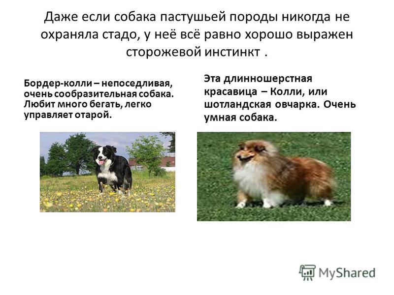 Даже если собака пастушьей породы никогда не охраняла стадо, у неё всё равно хорошо выражен сторожевой инстинкт. Бордер-колли – непоседливая, очень сообразительная собака. Любит много бегать, легко управляет отарой. Эта длинношерстная красавица – Кол