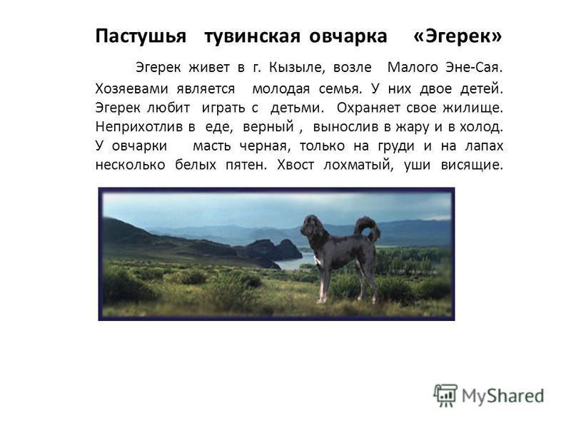 Пастушья тувинская овчарка «Эгерек» Эгерек живет в г. Кызыле, возле Малого Эне-Сая. Хозяевами является молодая семья. У них двое детей. Эгерек любит играть с детьми. Охраняет свое жилище. Неприхотлив в еде, верный, вынослив в жару и в холод. У овчарк