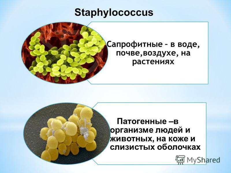 Сапрофитные – в воде, почве,воздухе, на растениях Патогенные –в организме людей и животных, на коже и слизистых оболочках Staphylococcus